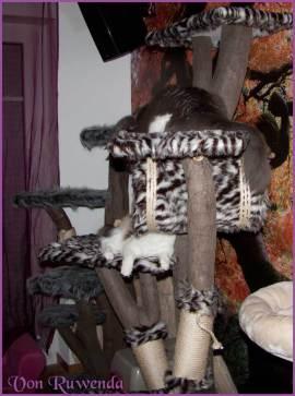 Die Norwegischen Waldkatzen von Ruwenda