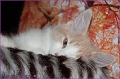 Nuriel von den Norwegischen Waldkatzen von Ruwenda