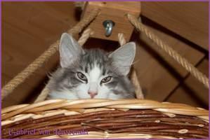 Gabriel von den Norwegischen Waldkatzen von Ruwenda