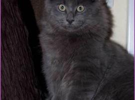 Balthazar von den Norwegischen Waldkatzen von Ruwenda