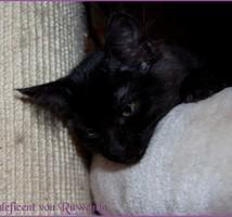 Maleficent von den Norwegischen Waldkatzen von Ruwenda