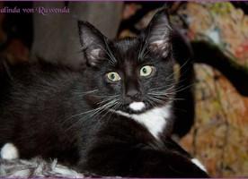 Galinda von den Norwegischen Waldkatzen von Ruwenda